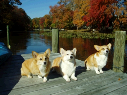 Corgie Dock Dogs?